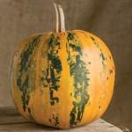khaki pumpkin
